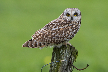 Short-eared owl (Asio flammeus) perched on post, Vendee, France, March.