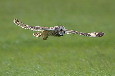 Short-eared owl (Asio flammeus) in flight, Vendee, France, March.