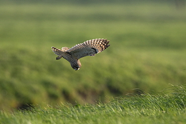 Short-eared owl (Asio flammeus) in flight, looking down to ground for prey, Vendee, France, March.