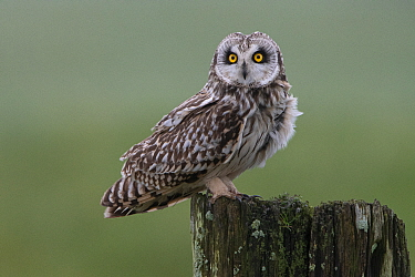 Short-eared owl (Asio flammeus) Vendee, France, March.