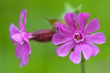 Red campion (Silene dioica) in flower, France, May.