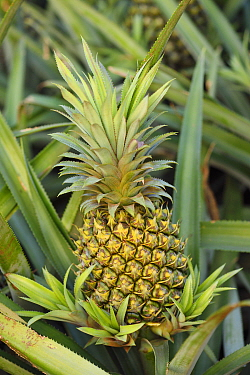 Pineapple growing in the 'Pineapple Sea', Xu Wen, Guangdong province, China