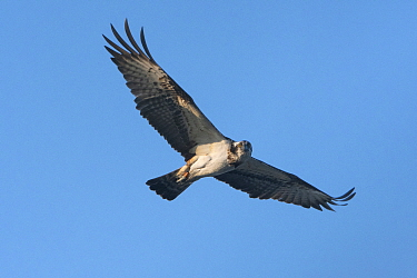 Osprey, (Pandion halietus), in flight against blue sky, Loire, France, April.