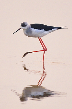 Black-winged stilt (Himantopus himantopus) standing in water with reflection at the Nansha wetland reserve, Guangdong province, China