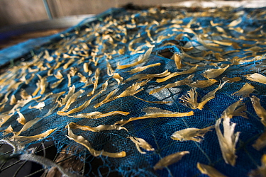 Dried fins from small sharks and shark-like rays, such as the Shovelnose rays (Rhinobatidae). Laid on the nets for drying at a shark processing factory in Ranong Province, Thailand, July 2014.   Acc...