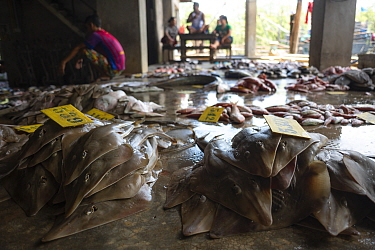 Shovelnose rays (Rhinobatos sp.) laid on the floor at a fish landing site for auction, Ranong Province, Thailand, April 2015.