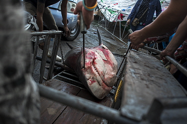Bull shark (Carcharhinus leucas) dragged onto a motorcycle trailer by workers, prior being transported to a shark processing factory. Ranong fish landing site, Ranong Province, Thailand, December 2014...