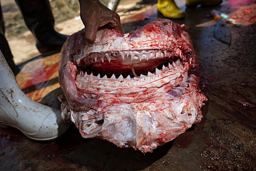 Skinned head of a Bull shark (Carcharhinus leucas) in a factory where sharks are processed into food. The flesh is stripped from the head and the dried jaws sold as souvenirs, Ranong Province, Thailan...