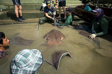 Team of aquatic veterinarians and sportfishers capture a Giant freshwater whipray (Urogymnus polylepis) from Mae Klong river for research purpose, Samut Songkhram Province, Thailand, November 2015....