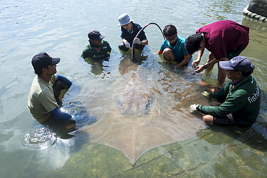 Team of aquatic veterinarians extract blood sample from the base of the tail of a Giant freshwater whipray (Urogymnus polylepis) captured in Mae Klong river for research purpose, Samut Songkhram Provi...