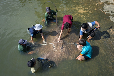 Team of aquatic veterinarians measuring the size of a Giant freshwater whipray (Urogymnus polylepis) captured in Mae Klong river for research purpose, Samut Songkhram Province, Thailand, November 2015...