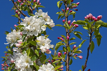 Ornamental, garden, crab apple (Malus 'John Downie') with snow white flowers against a blue spring sky, Berkshire, England, UK, April