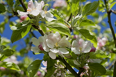 Flowers and young leaves on cooking apple variety Bramley against a blue spring sky, Berkshire, England, UK, April,