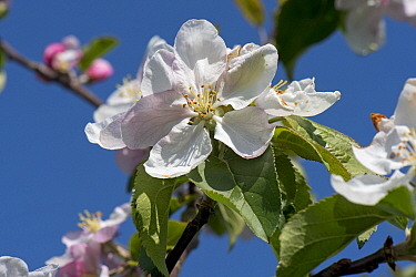 Wild crab apple (Malus sylvestris) large white to pink flowers and leaves in light woodland against a blue spring sky, Berkshire, England, UK, April,