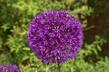 Allium hollandicum 'Purple Sensation' sphericical purple crowded umbel of purple flowers in late spring garden, May, Berkshire