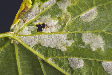 White blisters of lime felt gall mites (Eriophyes leiosoma) on the lower surface of the young leaves of small-leaved lime (Tilia cordata)