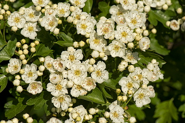 May or hawthorn blossom (Crataegus monogyna) white flowers on a small fragrant tree typical of spring, Berkshire, England, UK, May