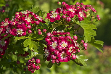 Red and white blossom on an ornamental hawthorn or may blossom Crataegus laevigata 'Crimson Cloud', Berkshire, England, UK, May