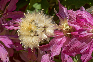 Pink flowers and fluffy seedheads of Clematis montana 'Broughton Star' a large climbing garden shrub, Berkshire, England, UK, May