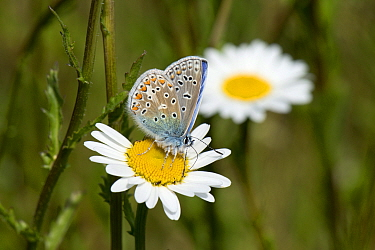 Common blue butterfly (Polyommatus icarus) malepollinating and taking nectar from an ox-eye daisy flower, Berkshire, England, UK, May