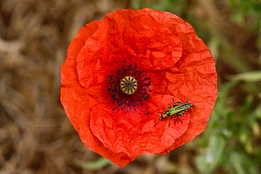 Swollen-thighed or thick-legged flower beetle (Oedemera nobilis) adult male beetle on red flower of a long-headed poppy (Papaver dubium)