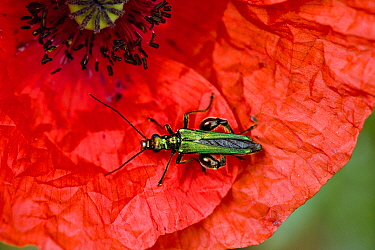 Swollen-thighed / Thick-legged flower beetle (Oedemera nobilis) adult male beetle on red flower of a long-headed poppy (Papaver dubium)