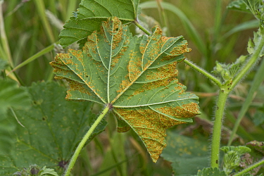 Mallow rust (Puccinia malvacearum) disease pustules on the lower surface of a common mallow (Malva neglecta) leaf, Berkshire, England, UK, June