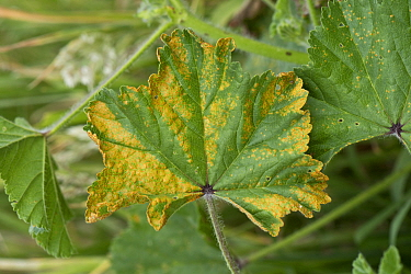 Mallow rust (Puccinia malvacearum) necrotic lesions on the upper surface of a common mallow (Malva neglecta) leaf, Berkshire, England, UK, June