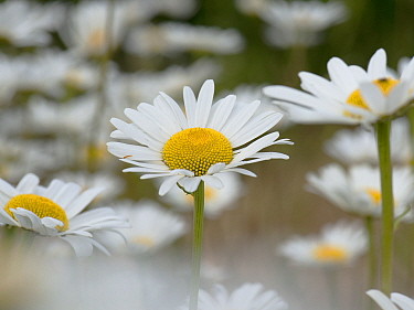 Oxeye daisies (Chrysanthemum vulgare) a single flower in a group of daisies with white ray and yellow disc florets, Berkshire, England, UK, June