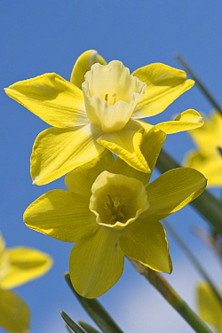 Flowers of a jonquilla daffodil Narcissus 'Pipit' yellow perianth segments and pale corona or trumpet against a blue sky, April