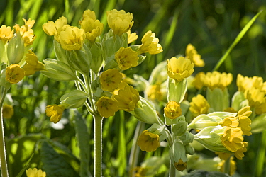 Cowslips (Primula veris) a multi-headed primula in full flower and backlit by the afternoon sun, April, Berkshire