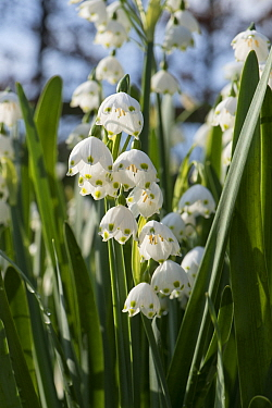 Summer snowflake or Loddon lily (Leucojum aestivum) flowers backlit by spring afternoon sunshine, Berkshire. April