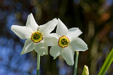 Old pheasant's eye (Narcissus poeticus var. recurvus) flowers, division 13 daffodil with white perianth and yellow and red corona, Berkshire, England, UK, April