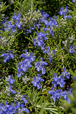 Trailing or creeping rosemary (Rosmarinus officinaris prostratus) blue flower on prostrate herb attractive to bees and other invertebrates, Berkshire, England, UK, April.