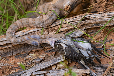 Grand Canyon rattlesnake (Crotalus oreganus abyssus) feeding on Northern mocking bird (Mimus polyglottos). Havasu Canyon, Grand Canyon National Park, Arizona, USA. September.