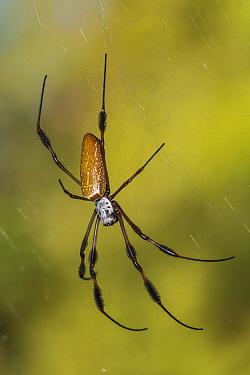 Golden silk orbweaver spider (Nephila clavipes) on web. Alexander Springs, Ocala National Forest, Florida, USA. October.