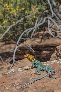 Common collared lizard (Crotaphytus collaris auriceps) male basking on rock. Arches National Park, Utah, USA. May.