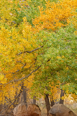Fremont cottonwood (Populus fremontii) trees in autumn. Capitol Reef National Park, Utah, USA. November.