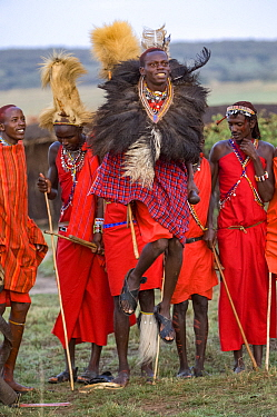 Maasai moran / warrior wearing Ostrich feather headdress jumping during traditional ceremony, others observing in background. Maasai Mara National Reserve, Kenya. 2007.