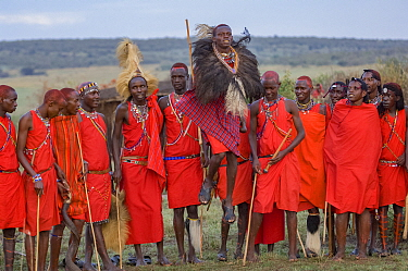 Maasai moran / warrior jumping in Ostrich feather headdress, others observing in background, participating in traditional ceremony. Maasai Mara National Reserve, Kenya. 2007.
