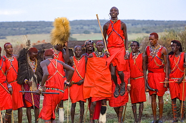 Maasai moran / warrior jumping whilst others observe in background, participating in traditional ceremony. Maasai Mara National Reserve, Kenya.