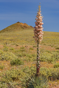 Chaparral yucca (Hesperoyucca whipplei) in Sonoran Desert. Baja California, Mexico.