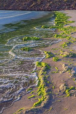 Green algae / Seaweed (Chlorophyta) on beach, washed up along shoreline. Isla Partida, Baja California Sur, Mexico.