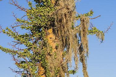Boojum tree (Fouquieria columnaris) with Menzies' cartilage lichen (Ramalina menziesii) hanging from branches. Near Bahia de Los Angeles, Baja California, Mexico.