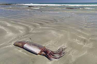 Humboldt squid (Dosidicus gigas), dead washed up on beach. Baja California, Mexico.