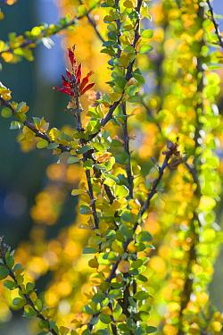 Ocotillo (Fouquieria splendens). Sierra de San Francisco, El Vizcaino Biosphere Reserve, Baja California, Mexico.