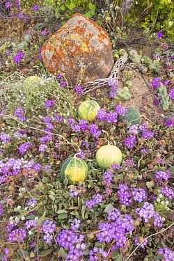 Coyote melon (Cucurbita cordata) fruits amongst flowering Desert sand verbena (Abronia villosa). Catavina, Valle de los Cirios Reserve, Baja California, Mexico.