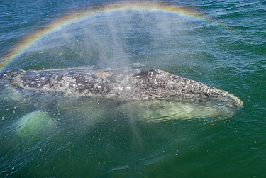 Grey whale (Eschrichtius robustus) female, rainbow in spray from blow. Ojo de Liebre Lagoon, Baja California Sur, Mexico.