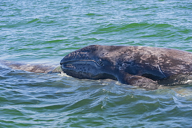 Grey whale (Eschrichtius robustus) calf on back of mother, practicing evading Orca. Ojo de Liebre, Baja California Sur, Mexico.