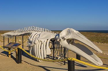 Grey whale (Eschrichtius robustus) skeleton exhibit. Ojo de Liebre Lagoon, Guerrero Negro, Baja California Sur, Mexico. 2007.